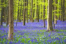 Hallerbos Forest During Spring...