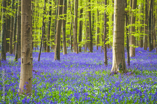Hallerbos forest during springtime with bluebells flowers and green trees Wallpaper Mural