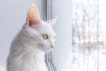 Portrait Of A White Cat With Green Eyes On A Light Background