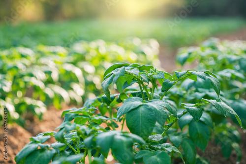 potato plant field - 247345470