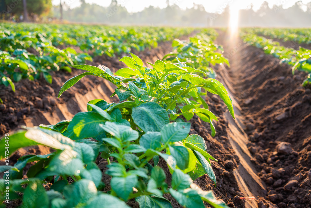 Fototapety, obrazy: potato plant field