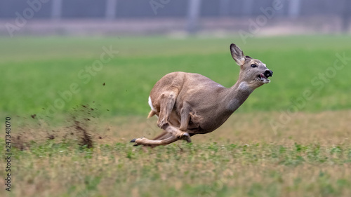 Foto op Plexiglas Ree Sprinting roe deer (capreolus capreolus) buck in natural summer meadow. Dynamic action photo of wild animal running. Endangered animal escape into safety. Action scene from nature.