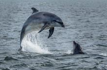 Wild Bottlenose Dolphins Jumpi...