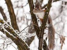 Squirrel On A Tree With A Nut ...