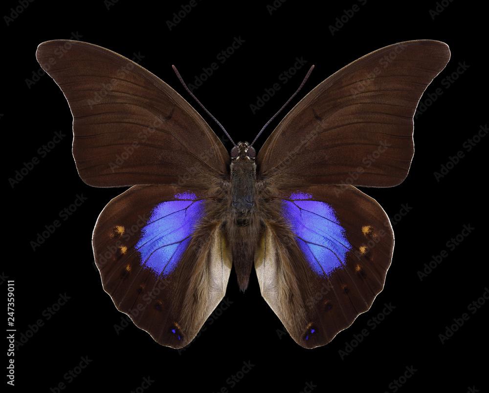 Butterfly Prepona chromus on a black background