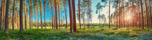 Coniferous Forest With Morning...
