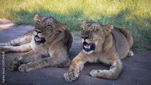 Zdjęcie XXL Widoki młodej lwicy