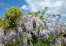 Wisteria Sinensis In Purple Bl...