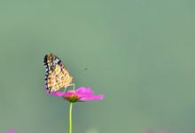 秋桜に留まる蝶