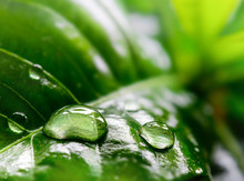 Large Drops Of Rain On A Green Tropical Plant Leaf