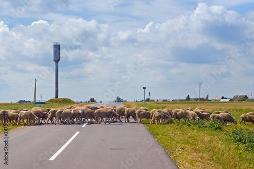 Fotografía  Flock of sheep crossing an asphalt road in the countryside.