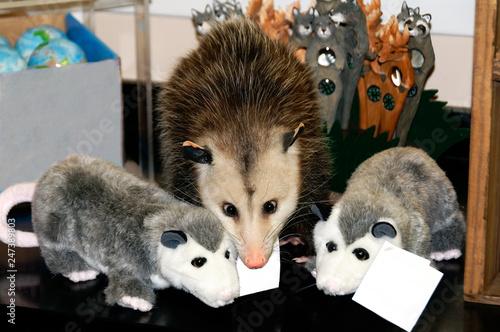 Fotografie, Obraz  Possum with Cute Stuffed Possums