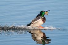 Mallard Drake Landing In A Calm Lake