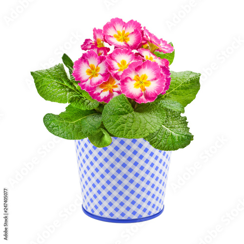 Primroses and flower pot isolated against white background Wallpaper Mural