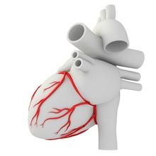 Coronary Arteries, Illustration