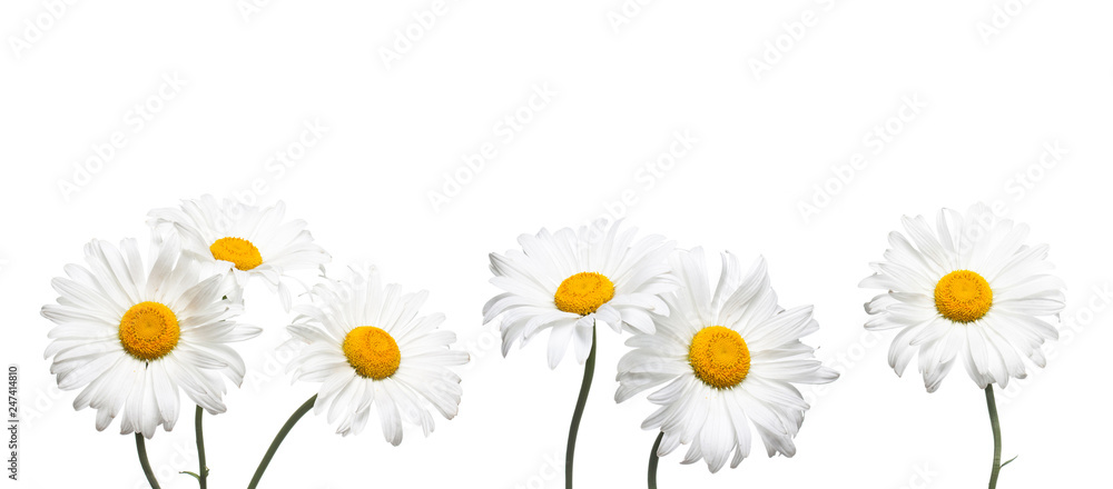 Fototapeta Chamomile flowers collage isolated on white background, floral design wallpaper