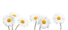 Chamomile Flowers Collage Isolated On White Background, Floral Design Wallpaper