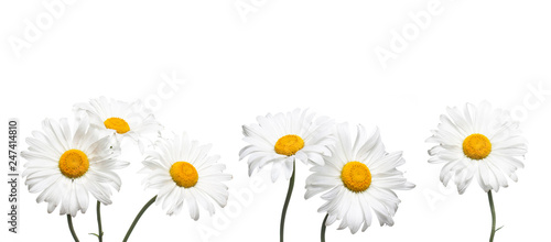 Papiers peints Marguerites Chamomile flowers collage isolated on white background, floral design wallpaper