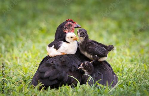 Hen with baby chicken