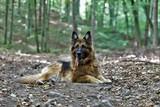 Fototapeta Zwierzęta - owczarek niemieci