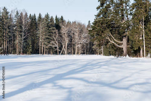 Photo Stands Roe Snowy glade in a forest with trees in glades