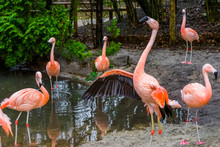 Beautiful Chilean Flamingo Spreading Its Wings, Bird Family Of Chilean Flamingos, Tropical Birds From America