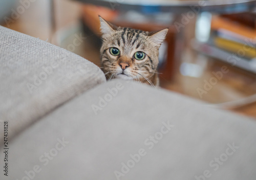 Keuken foto achterwand Kat Cute short hair cat looking curious and snooping at home playing hide and seek