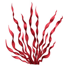 Red Seaweed , Kelp In The Ocea...