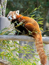 Lesser Panda Also Called Red P...