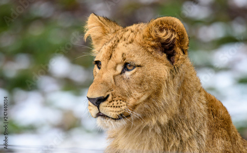 Fototapety, obrazy: Lion posing for portrait