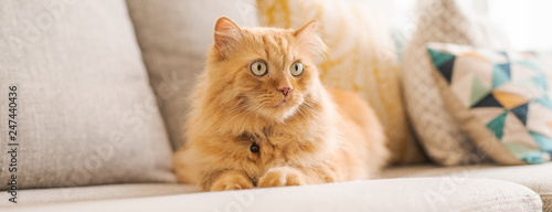 Fotografie, Tablou Beautiful ginger long hair cat lying on the sofa on a sunny day at home