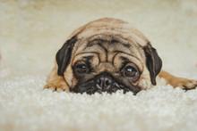 Dog Breed Pug Resting On A Whi...
