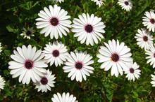 Osteospermum Akila White Purpl...