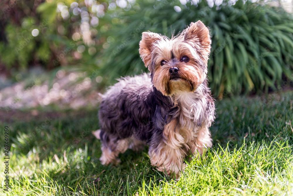 Little Yorkshire Terrier Posing An Grass Yorkie Dog Foto Poster
