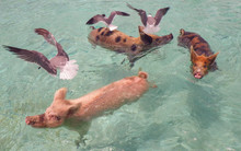 Funny Swimming Pigs With Seagulls