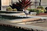Fototapeta Zwierzęta - Australian white ibis in the city park, Threskiornis molucca, Australia