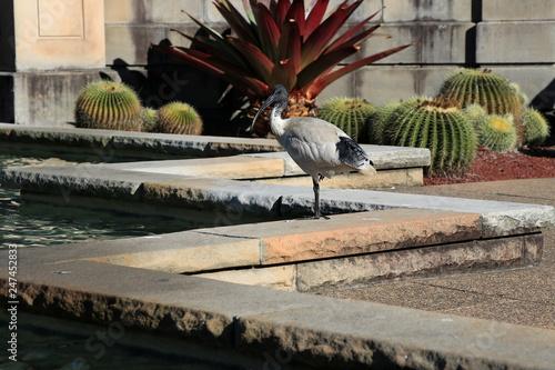 Fototapeta Australian white ibis in the city park, Threskiornis molucca, Australia obraz