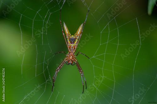 Fototapeta Micrathena sexspinosa pająk w Parku Narodowym Chagres