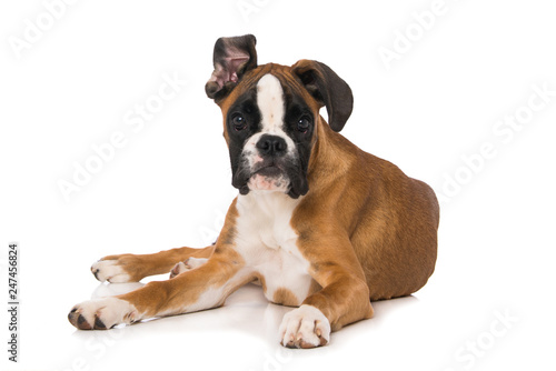 Fotomural Young boxer dog lying isolated on white background