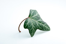 Ivy Leaf Close Up, Isolated.
