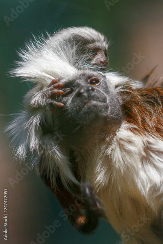 Photo  Small monkey cotton-top tamarin, Saguinus oedipus, with its young ones