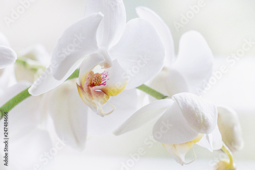 Wall Murals Orchid Weiße Orchidee (orchidaceae phalaenopsis)