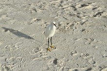 Snowy Egret Standing On The Sand At The Beach