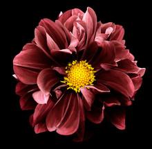 Red  Dahlia. Flower On The Bla...