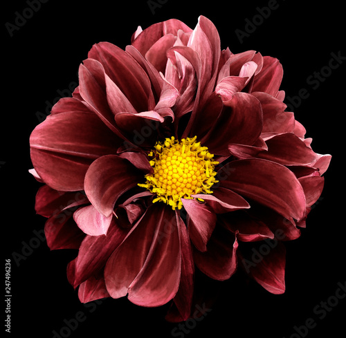 Cadres-photo bureau Dahlia Red dahlia. Flower on the black isolated background with clipping path. For design. Closeup. Nature.