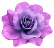 canvas print picture - flower isolated  pink-purple rose on a white  background. Closeup. Element of design. Nature.