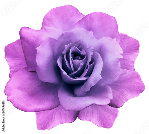 canvas print motiv - nadya76 : flower isolated  pink-purple rose on a white  background. Closeup. Element of design. Nature.