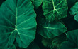Large foliage of tropical leaf with dark green texture, abstract nature background. vintage color tone.