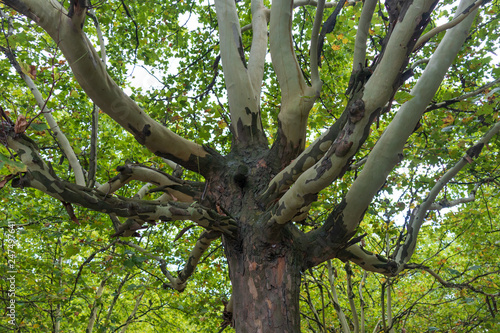 Fotografie, Obraz  Tree with green fall foliage with blue sky background