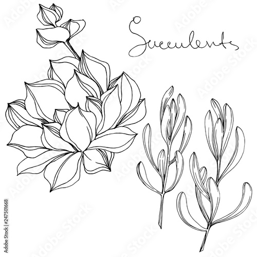 Fototapety, obrazy: Vector Succulent floral botanical flower. Black and white engraved ink art. Isolated succulents illustration element.